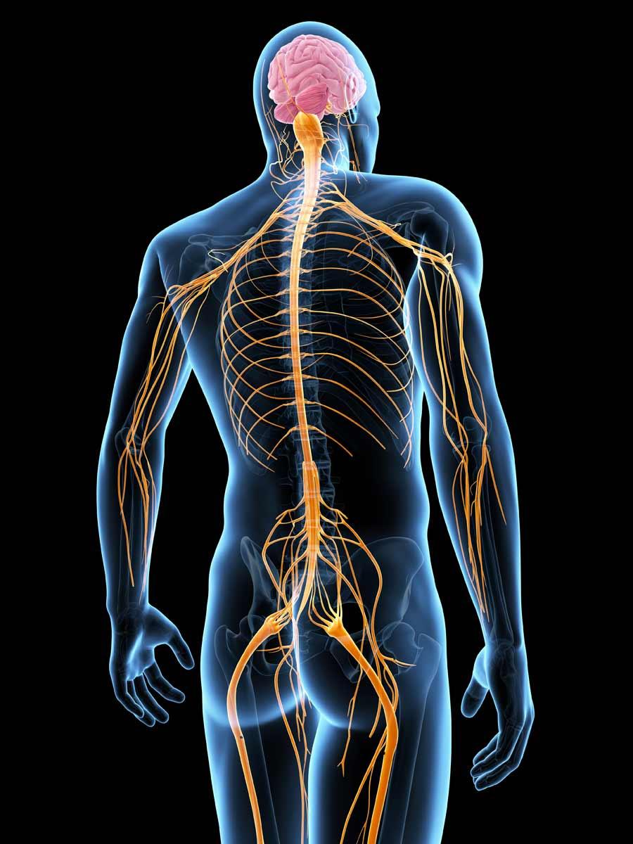Sistema Nervoso Chiropratica